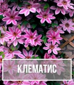 Клематис (Clematis)