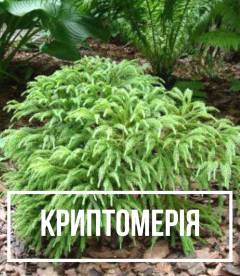 Криптомерия (Cryptomeria)