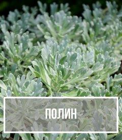 Полин (Artemisia)