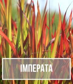 Імперата (Imperata)