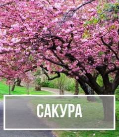 Сакура (Prunus serrulata)