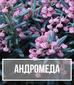 Подбел (Andromeda)