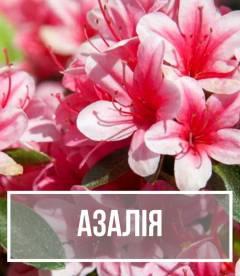 Азалія (Azalea)
