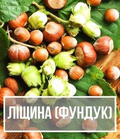 Ліщина (Corylus)