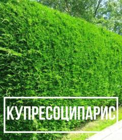 Купрессоципарис (Cupressocyparis)