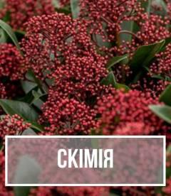 Скімія (Skimmia)