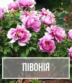 Півонія (Paeonia)
