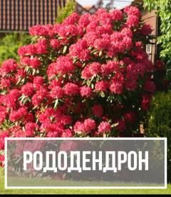 Рододендрон (Rhododendron )
