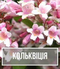 Кольквіція (Kolkwitzia)