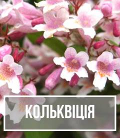Кольквиция (Kolkwitzia)