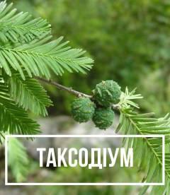 Таксодіум (Taxodium) Болотний кипарис