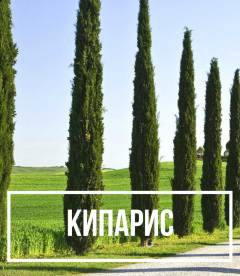 Кипарис (Cupressus)