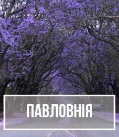 Павловнія (Paulownia)