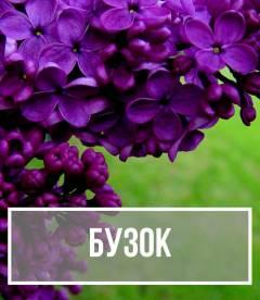 Бузок (Syringa)