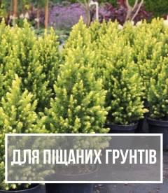 Рослини для піщаних та бідних грунтів