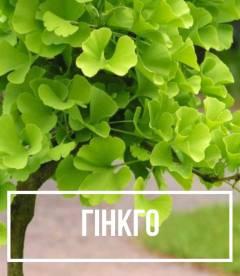 Гінкго дволопатеве (Ginkgo biloba)
