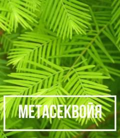 Metasequoia glyptostroboides (Метасеквойя китайская)