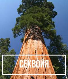 Секвойя вечнозеленая (Sequoia sempervirens)