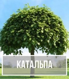 Катальпа (Catalpa)