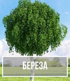 Береза (Bétula)