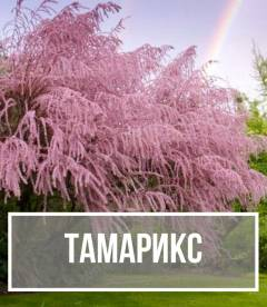 Тамарикс (Tamarix)