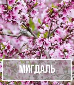 Мигдаль (Prunus dulcis)