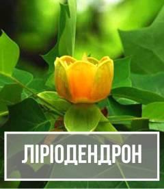 Ліріодендрон (Liriodendron)