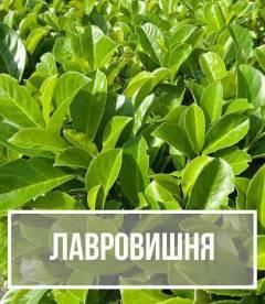 Лавровишня (prunus lauroceraus)