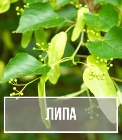 Липа (Tilia)