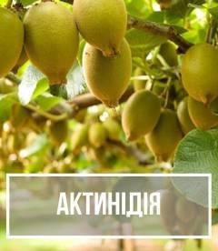 Актинидия (Actinidia)