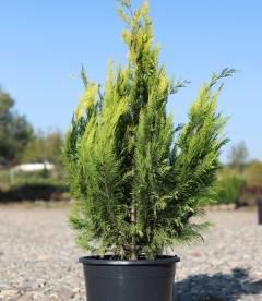 Скидка 20%-30% от 1 шт на растения с корневым комом