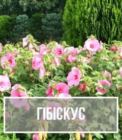 Гібіскус, Hibiscus