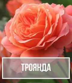 Троянда (Rosa)