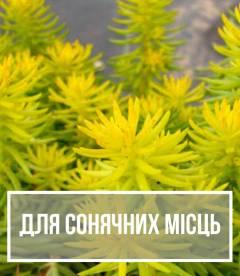 Рослини для сонячних місць - світлолюбні