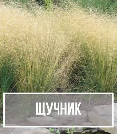 Щучник (Deschampsia)