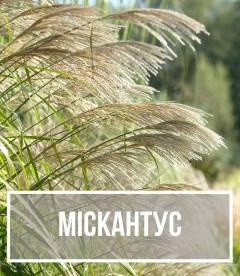 Міскантус (Miscanthus)