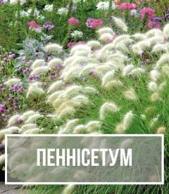 Пеннісетум (Pennisetum)