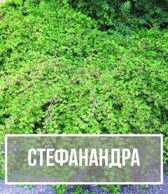 Стефанандра (Stephanandra)