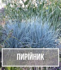 Пирійник (Elymus)
