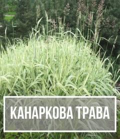 Канареечник тросниковый (Phalaris)