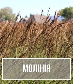Молінія (Molinia)