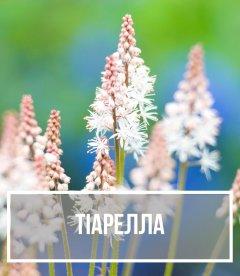Тіарелла (Tiarella)
