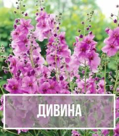Дивина (Verbascum)