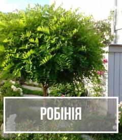 Робиния (Robinia)