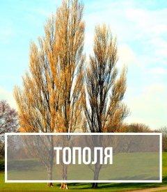 Тополя (Populus)