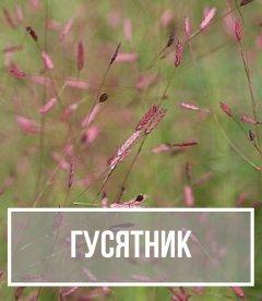 Гусятник (Eragrostis)