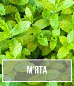 М'ята (Mentha)