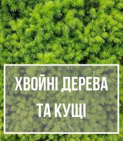 Хвойні дерева та кущі