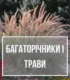 Багаторічники, трави