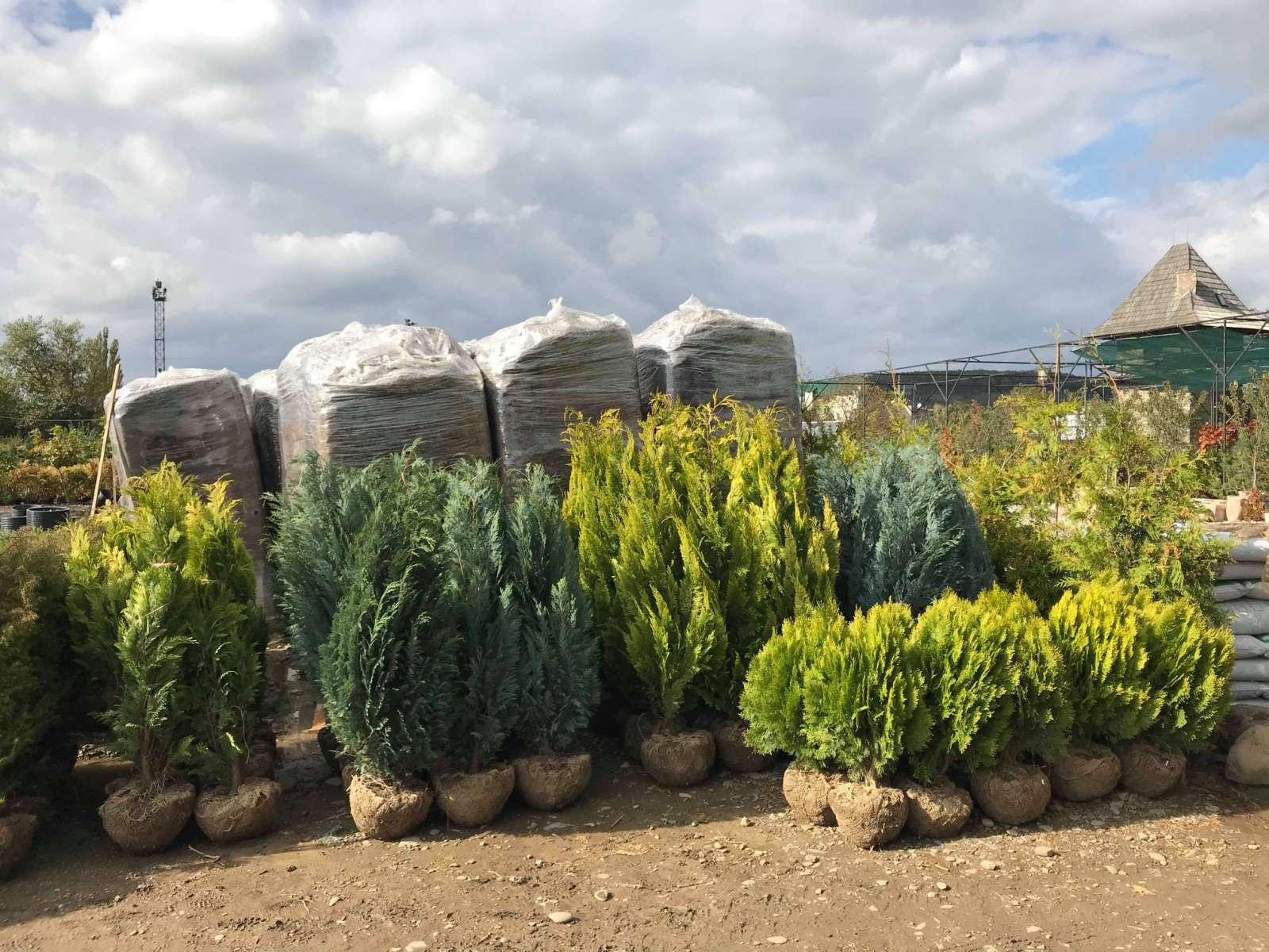 Купити Викопні рослини з кореневим комом. Хвойні Листяні деревата та кущі